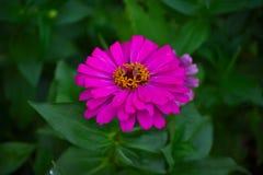 Blommande rosa Zinniablomma (Zinniaelegans) Arkivbild