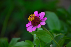 Blommande rosa Zinniablomma (Zinniaelegans) Royaltyfri Foto