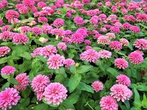 Blommande rosa zinnias i trädgård royaltyfria foton