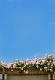 Blommande rosor blommar på härlig vårdag Fotografering för Bildbyråer