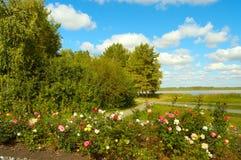 Blommande rosor i en äng Royaltyfria Bilder