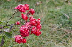 Blommande rosor i frost Arkivbilder