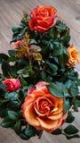 Blommande rosor i krukan Royaltyfria Bilder