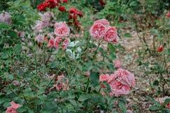 Blommande rosor i parkera Arkivfoto