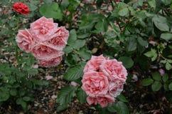 Blommande rosor i parkera Arkivbild