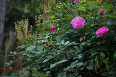 Blommande rosor och knoppar Royaltyfria Bilder