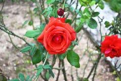 Blommande rosor på botaniska trädgården av Grekland Royaltyfria Foton