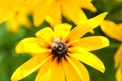 Blommande Rudbeckia Svart-synad Susan blomma Royaltyfria Bilder