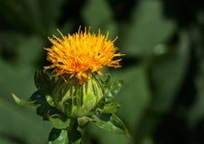Blommande safflowerhuvud Arkivfoto
