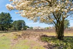 Blommande serviceberryträd med vita blommor, Nederländerna Arkivfoton