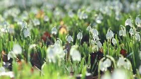 Blommande snödroppeäng i morgondagg stock video