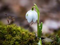 Blommande snödroppeblomma Arkivfoton