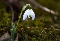 Blommande snödroppeblomma Arkivbild