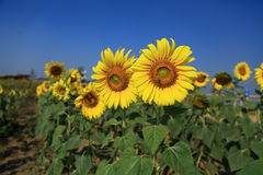 Blommande solblomma Arkivfoto