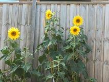 Blommande solblommor når stora höjder Arkivbild