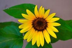 Blommande solros (helianthusen) Royaltyfri Foto