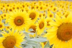 Blommande solros i fältet Arkivbild