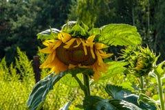 Blommande solros i strålarna av sommarsolen royaltyfri foto