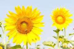 Blommande solros och bi Arkivbilder