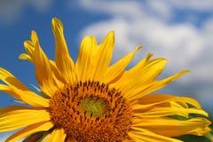 Blommande solros som är mogen på sommarfält Fotografering för Bildbyråer