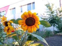 Blommande solroscloseup Royaltyfria Bilder