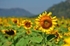 Blommande solrosor Royaltyfria Foton