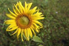 Blommande solrosor fotografering för bildbyråer