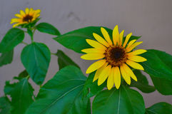 Blommande solrosor (helianthusen) Royaltyfria Bilder