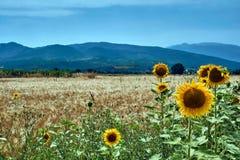 Blommande solrosor på den Thessalian slätten Arkivbilder