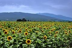 Blommande solrosor på den Thessalian slätten Fotografering för Bildbyråer