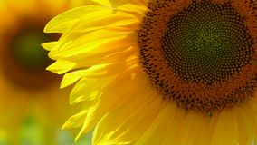 Blommande solrosor som svänger på vind arkivfilmer