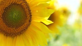 Blommande solrosor som svänger på vind stock video