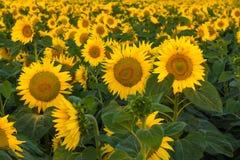 Blommande solrosor stänger sig upp för mittfält för bi yellow för solros för sun för sommar för ljus blomma sen Fotografering för Bildbyråer