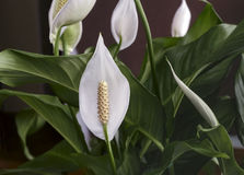 Blommande spathiphyllum för vita blommor Royaltyfria Foton