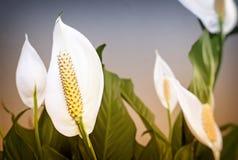Blommande spathiphyllum för vita blommor Royaltyfria Bilder