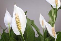 Blommande spathiphyllum för vita blommor Arkivbilder