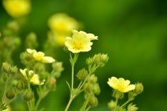 Blommande spenslig gracilis CinquefoilPotentilla fotografering för bildbyråer