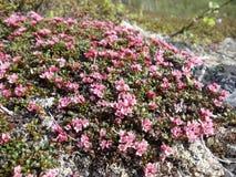 Blommande sten Royaltyfria Foton