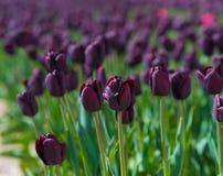 Blommande svarta tulpan arkivfoton