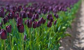 Blommande svarta tulpan arkivbilder