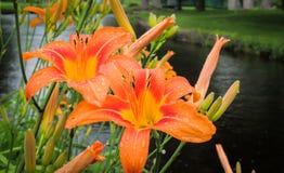 Blommande tigerlilja i parkera arkivfoton