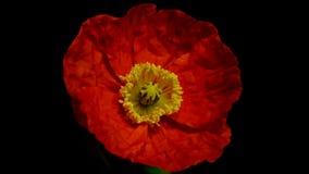 Blommande timelapse för orange vallmo