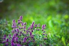 Blommande timjan Blommor i panelljus Violeten blommar p? en gr?n bakgrund medicinal v?xt Stor krydda royaltyfria foton