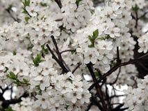 Blommande träd Fotografering för Bildbyråer