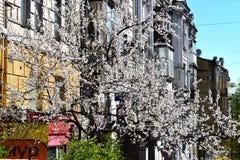 Blommande träd av aprikons Arkivbilder