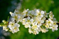 Blommande träd av plommonet med vita blommor i vårTjeckien Arkivfoton