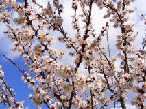 Blommande träd, blomningfruktträd, vår och blommande aprikosträd fotografering för bildbyråer