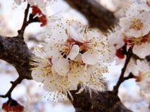 Blommande träd, blomningfruktträd, vår och blommande aprikosträd royaltyfri bild