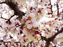Blommande träd, blomningfruktträd, vår och blommande aprikosträd arkivfoton