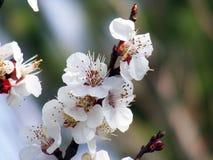 Blommande träd, blomningfruktträd, vår och blommande aprikosträd royaltyfria bilder